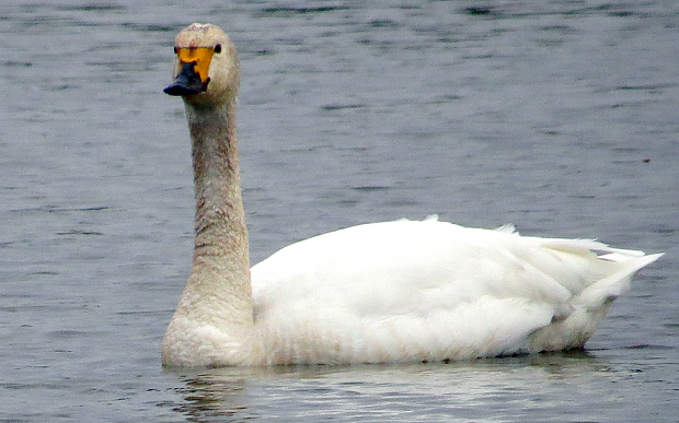 The first Bewick swans of the year. CREDIT: Steve Heaven/ SWNS