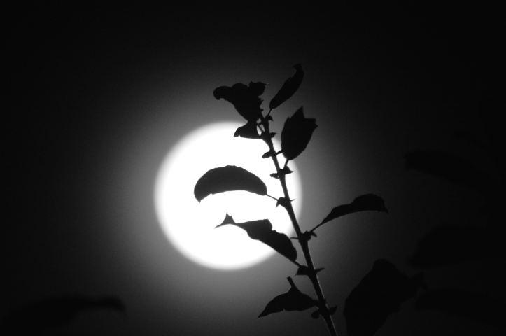 moon plant