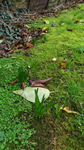 Daffodils starting to bloom. CREDIT: Mathew Hayes