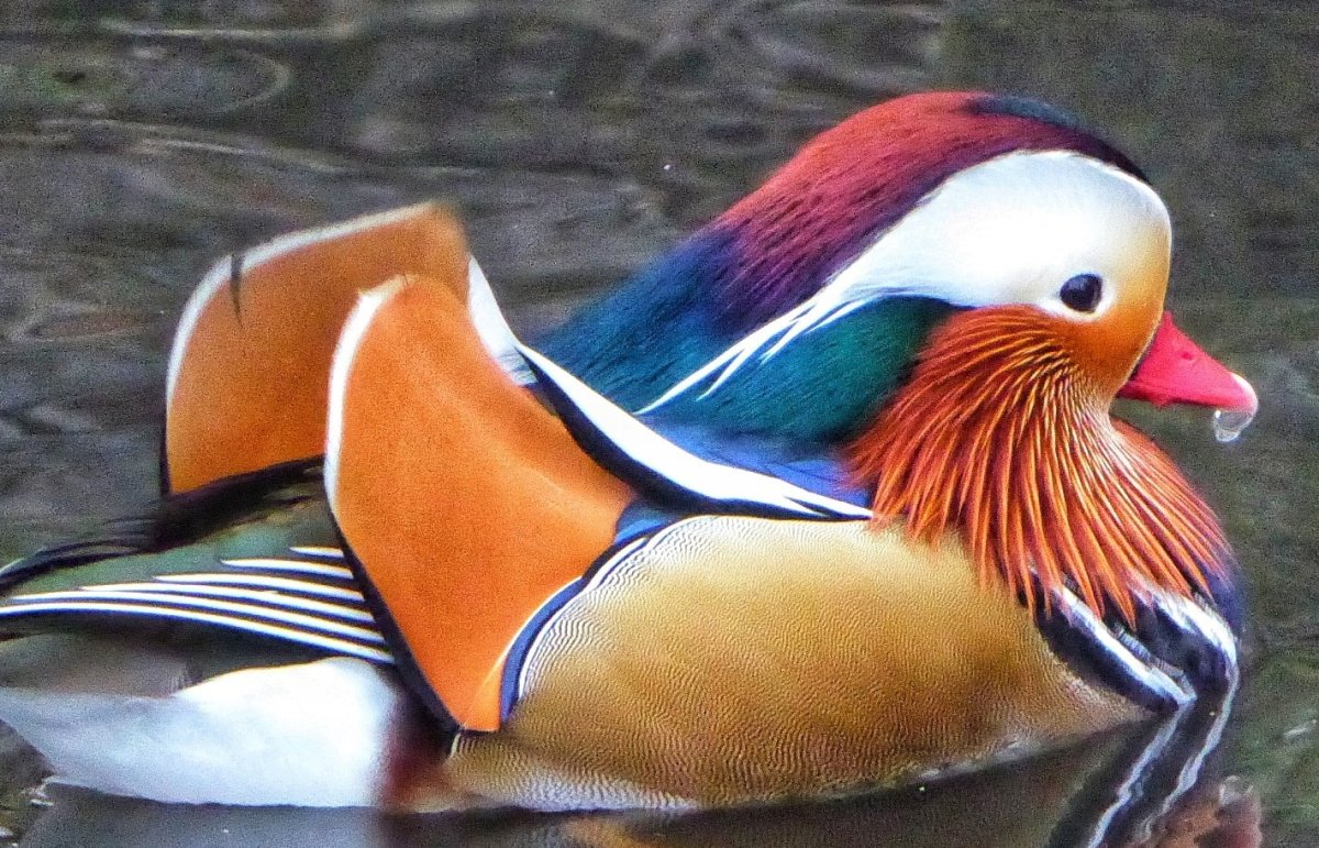 Amazing pictures show stunning RARE duck on a Merseyside lake